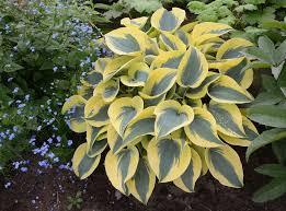 grow care for hosta plants