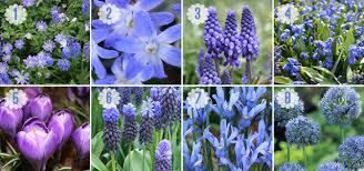 garden bulbs. A Touch Of The Blues Garden Bulbs T