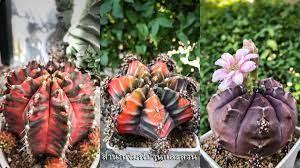 ยิมโน 5 กระบองเพชร สายพันธุ์ใหม่จาก 'กระท่อมลุงจรณ์' - บ้านและสวน