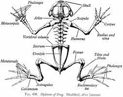 494d11dad3b5d1899a1c2bb8faf79ac3 frog skeleton google search tattoos pinterest animal on crayfish dissection worksheet