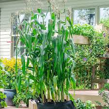 utopia sy hybrid sweet corn great for container gardening