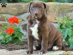 american bulldog lab mix. Plain American American Bulldog Lab Mix  Labrador Mix Puppies For Sale In PA With American Bulldog Lab