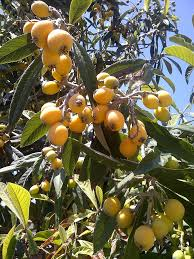 Bonita Creek Nursery Rare Fruit Trees In San Diego Los Angeles Southern California Fruit Trees