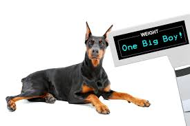 Doberman Weight Chart Doberman Weight Growth Curve And Average Weights Doberman