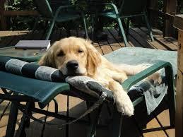 regan golden retriever dog lounge lounging chair deck sun pet insurance trupanion