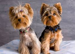 baby yorkshire terrier. Perfect Baby Traditional Yorkieu0027s In Baby Yorkshire Terrier D