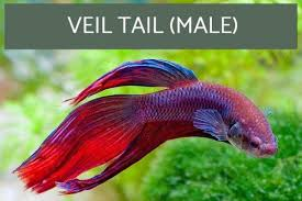 Betta Fish Chart Types Of Siamese Fighting Fish With Pictures