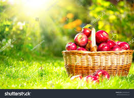 green and red apples in basket. organic apples in a basket outdoor. orchard. autumn garden. harvest season concept. green and red p