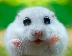 Image result for screaming hamster