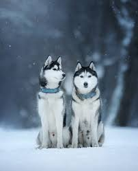 baby husky in snow. Beautiful Husky Pictures Of Huskies On Baby Husky In Snow A