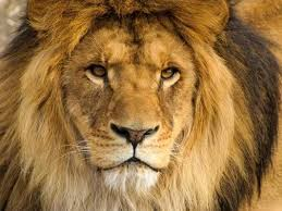 Image result for lions tigers