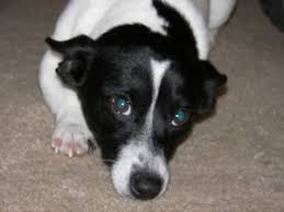 black and white jack russell terrier mix. Plain Jack Jack Russell Mix Dog And Black White Terrier Mix A