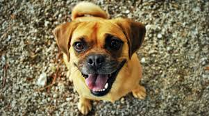 black and tan puggle. Simple And Puggle Dog Breed Temperament Diet And Training  Platpets  Resources For Your Pet Intended Black And Tan G