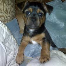 black and brown terrier mix. Contemporary Black Black And Tan Puppy Intended And Brown Terrier Mix