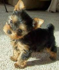 cute teacup yorkie puppies available for