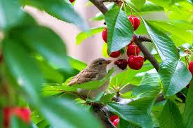 birds pests diseases thompson