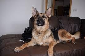 alsatian dog on sofa stock image image of full indoor 86225465