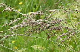 Grass Identification Chart Uk Tall Fescue Naturespot