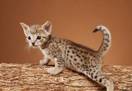 pictures of savannah cats on we have a gorgeous litter of savannah kittens