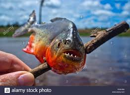 amazon river piranha fish. Wonderful Fish Close Up Of A Piranha That Was Just Caught On The Amazon River  Stock Intended River Piranha Fish