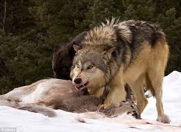 grey wolf size alaska congressman don young said gray wolves could fix homeless