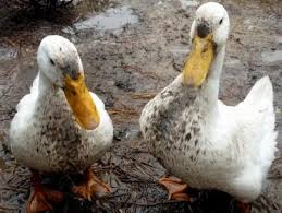 raising ducks what ducks eat and how