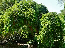 Nonfruiting Mulberry Tree  Doghouse Gardening And ArtNon Fruiting Mulberry Tree