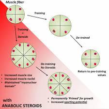 anabolic steroids satellite cells