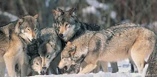 gray wolf pack playing. Exellent Playing To Gray Wolf Pack Playing P