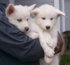 white wolf pup with blue eyes. Perfect White White Wolf Pups With Blue Eyes  Wolves Photo To Pup U