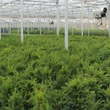 Yew Pot Grown