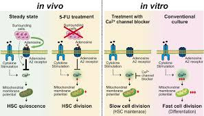 Ca2 Mitochondria Axis Drives Cell Division In Hematopoietic