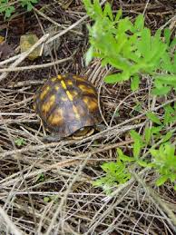 box turtle size i found this shy young eastern box turtle em