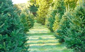 The Complete Guide To Christmas Tree Farms In North Jersey Christmas Tree Cutting Nj