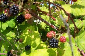 Tree With Blackberry Like Fruit