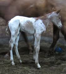 Myra Crawford Show Horses – Breeder of Appaloosa Show Horses in Iowa