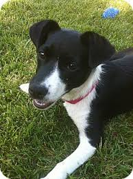 jack russell terrier border collie mix. Unique Terrier Tracy CA  Border Collie Meet Magpie PENDING ADOPTION A Dog For Adoption Intended Jack Russell Terrier Collie Mix