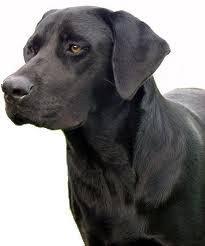 Eigenschappen Labrador | Labrador Retriever Blog