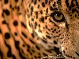 baby jaguar wallpaper. Perfect Jaguar Baby Jaguar To Wallpaper