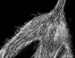 Karyotaxonomy of Myosotis alpestris group