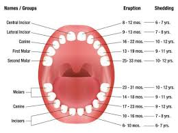 Which Baby Teeth Fall Out Chart How Many Teeth Do Kids Lose Lovetoknow