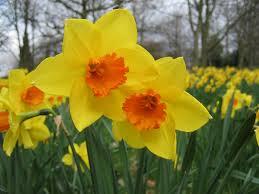 daffodils flowers daffodil flower desktop wallpaper daffodils flowers pictures free