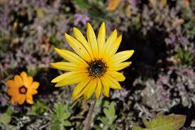 asteraceae yellow flower