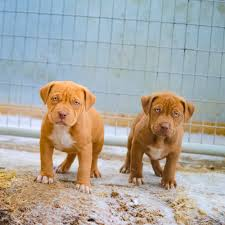 cute pitbull puppies for sale. Beautiful For Rednosepitbullpuppiesforsale In Cute Pitbull Puppies For Sale O