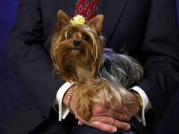 Yorkie Size Chart What Is The Difference Between A Teacup Yorshire Terrier A