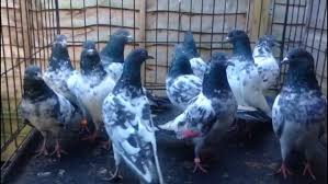russian high flyer pigeons for sale pigeons birds for sale in london preloved