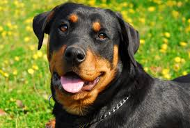 Image result for rottweiler