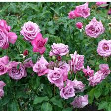 Velvet Fragrance  RepeatFlowering  Popular SearchesFragrant Rose Plants