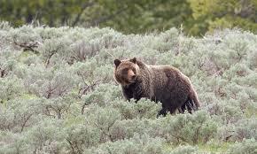 Dakota Grizzly Size Chart Grizzly Bear Defenders Of Wildlife