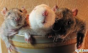 Image result for three rats